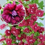 Клематис махровый Пурпуреа Плена Элеганс – 1 саж. фото