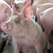 Свиньи, купить свиней, купить свиней в Украине фото