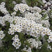 Ландшафтное растение Спирея Аргута фото