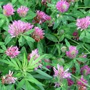 Клевер розовый луговой фото