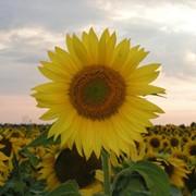 Семена подсолнечника реализуем фото