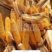 Фуражная кукуруза оптом фото