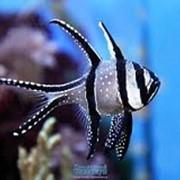 Рыба Тюлевый Апогон Pterapogon kauderni фото