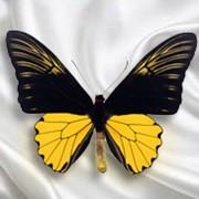 Бабочка Troides Amphrysus фото