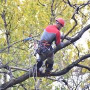 Санитарная обрезка деревьев фото