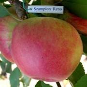 Чемпіон Рено Сажанці яблоні фото
