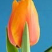 Выгонка тюльпанов к 8 марта фото