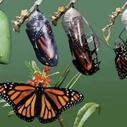 Живые коконы и куколки тропических бабочек фото