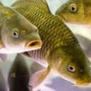 Рыбопитомник фото