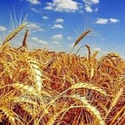 Яровая пшеница мягкая Кинельская Нива фото