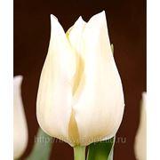Тюльпаны Royal Virjin фото