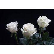 Роза Амелия, Белый цвет, Эквадор фото