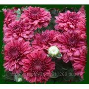 """№1 """"Angela Red"""". 4/60, раннее цветение. фото"""