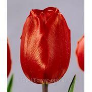 Тюльпаны Escape фото