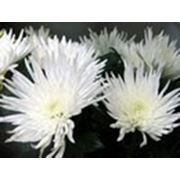 Хризантемы оптом и в розницу СПб фото
