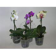 Орхидея фаленопсис микс 1pp 9 40 фото