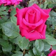 Роза Джиральдо (Giraldo) фото