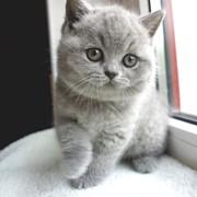 Породистые британские котята питомник LV*RAYS OF HOPE фото