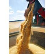 Отгрузка зерна и маслосемян подсолнечника фото