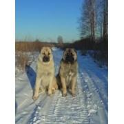 Армянский Волкодав ГАМПР. Armenian Wolfhound GAMPR фото