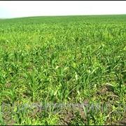 Силос кукурузный фото