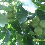 Саженцы грецкого ореха Идеал фото