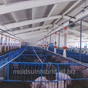 Поросята мясных пород в Молдове фото