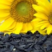 Семена подсолнечника Добряна фото