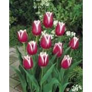 Луковицы тюльпана Лео Виссор фото