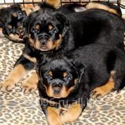 Питомниковые щенки ротвейлера фото
