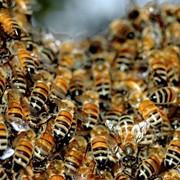 Пчелы фото