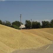 Зерно, зерновые культуры от производителя, Украина фото