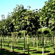 Посадка деревьев в Астане фото