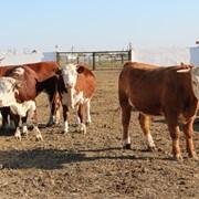 Племенные быки казахской белоголовой фото