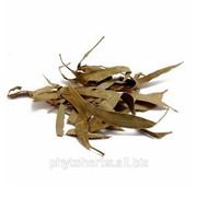 Эвкалипт прутовидный лист, (Eucalyptus viminalise Labill.) фото