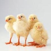 Цыплята-бройлеры в Молдове фото