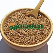 Зерно полбы для проращивания фото