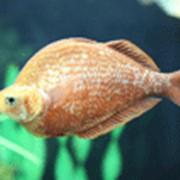 Красная атерина (глоссолепис) Семейство: атериновые фото