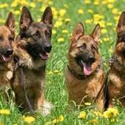 Овчарки немецкие фото