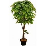 Искусственное дерево Клен Тавила (Код товара: 50203 фото