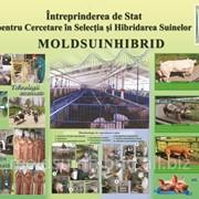 Porci de vanzare in Moldova фото
