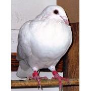 Спортивные голуби фото