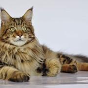 Вязка котов, Клуб занимается отбором и подбором пар племенных животных фото