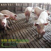 Щелевые полы бетонные для свиней фото