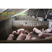 Оборудование для содержания свиней на откорме фото