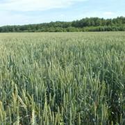 Семена озимыx зерновыx культур урожая 2017 года под предварительный заказ фото