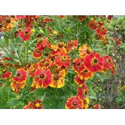 Семена цветов. Гелениум фото