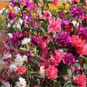 Семена цветов. Кларкия