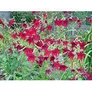 Семена цветов. Табак фото