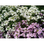 Семена цветов. Арабис фото